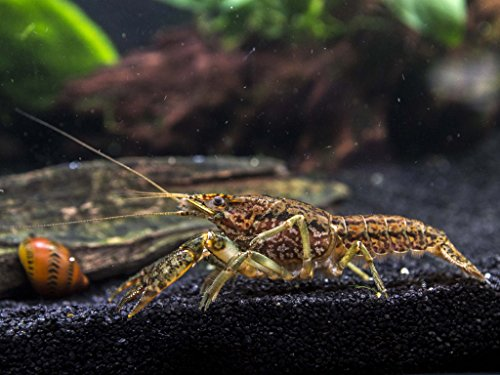 Aquatic Arts 1 Self-Cloning Marmorkreb Crayfish/Freshwater Lobster (Reproduces Without a Mate!) - 1+ Inch Juvenile