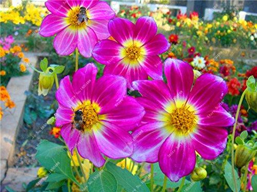 Double Dahlia Seed Mini Mary Fleurs Graines Bonsai Plante en pot bricolage jardin odorant Fleur, croissance naturelle de haute qualité 50 Pcs 21