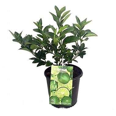 Persian Lime Tree - Fruit Bearing Size -8  Pot-NO SHIP to TX, FL, AZ, CA, LA, HI