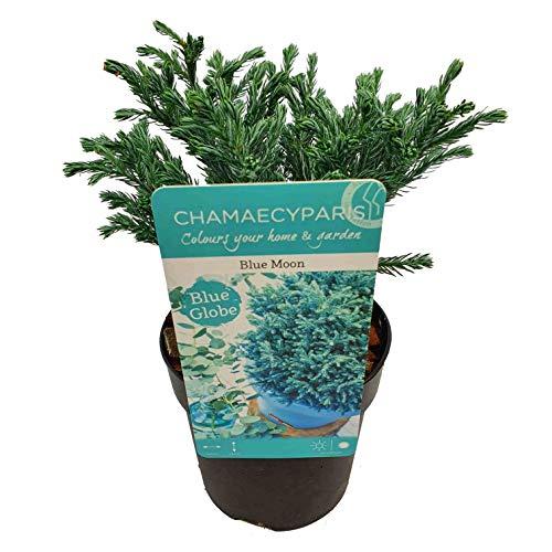 Blaue Zwergkonifere - Chamaecyparis pisifera Blue Moon - Gesamthöhe 30+ cm im 2 Liter Topf