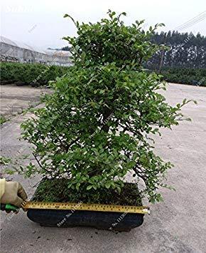VISTARIC 7: Double Dahlia Seed Mini Mary Fleurs Graines Bonsai Plante en pot bricolage jardin odorant fleur, croissance naturelle de haute qualité 50 Pcs 7