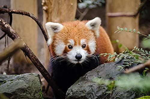 YHHAW Patrón Animal Panda Rojo Puzzle,Puzzles para Adultos,Rompecabezas,Puzzle 300 Piezas