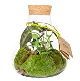 Jardin en Bouteille de Botanicly – Mélange de Plantes en verre biotope – Hauteur: 23 cm