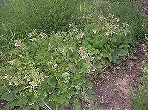 dwarf comfrey plants