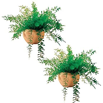 Mysterious Air Fern Set of 2 - House Plant No Water or Soil Required