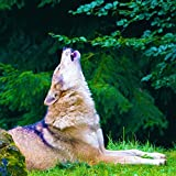 Thunder & Wolves: Howling with Rain on Leaves