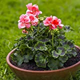 Cioler Seed House - 10 pièces rares graines de géranium Géraniums vivaces fleurs de jardin graines plantes rustiques bonsaï plantes en pot pour jardin balcon/terrasse