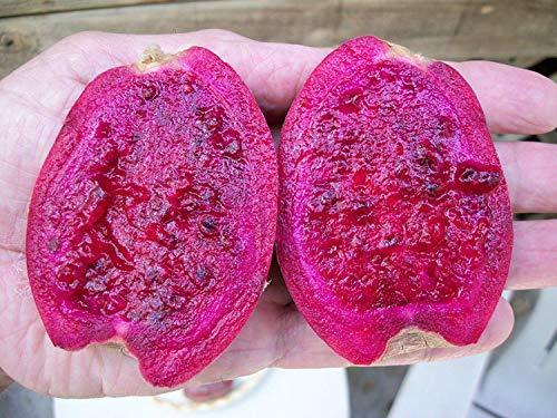Potseed Germination Les graines: Giant Rouge Opuntia FIGUIER DE BARBARIE Nopal SPINELESS Cactus Juicy & Sweet 10 GRAINES