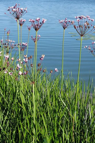 Schwanenblume – Blumenbinse / Butomus Umballatus im 9×9 cm Topf - 2