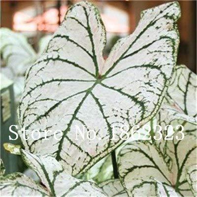 GEOPONICS SEEDS: Verkauf! 100 Stück Caladium Bonsai Caladium Blumen Bonsai Zimmerpflanzen Bonsai Colocasia Anlage für Hausgarten-Topfpflanze: 1