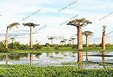 Generic Fresh 10 Stück Baobab Baumsamen zum Pflanzen von Braun