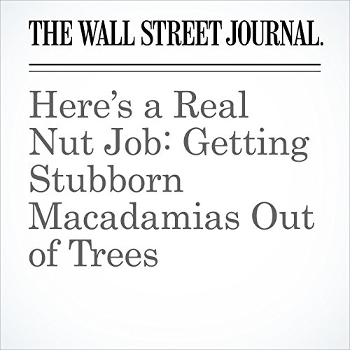 Here's a Real Nut Job: Getting Stubborn Macadamias Out of Trees copertina