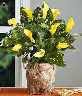 AGROBITS 100pcs plantas de cala flor rara plantación Bonsai flor de la cala (no cala Bulbos), el crecimiento natural para el Hogar Jardín: Brown