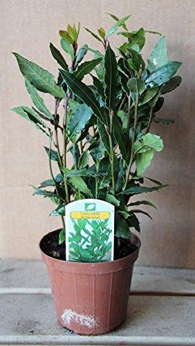Laurel (Maceta 10,5 cm Ø) - Planta viva - Planta aromatica