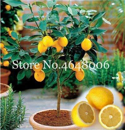 Bloom Green Co. 50 Pcs comestibles de fruits Meyer Citron Bonsai plantes exotiques colorés Citrus Limon fruits frais Arbre Plantes potagères taux élevé de survie: k