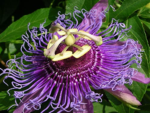 vegherb Passiflora incarnata, Lila Passionsblume Maypop Wilde Aprikose Samen 25 Samen