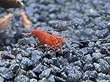 Topbilliger Tiere Red Fire Garnele - Neocaridina davidi 10x und Zwei...