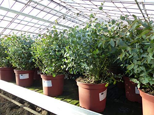2 Stück XXL Eucalyptus Gunni Gunnii Busch Eukalyptusbaum 70-90 cm, Pflanze winterhart