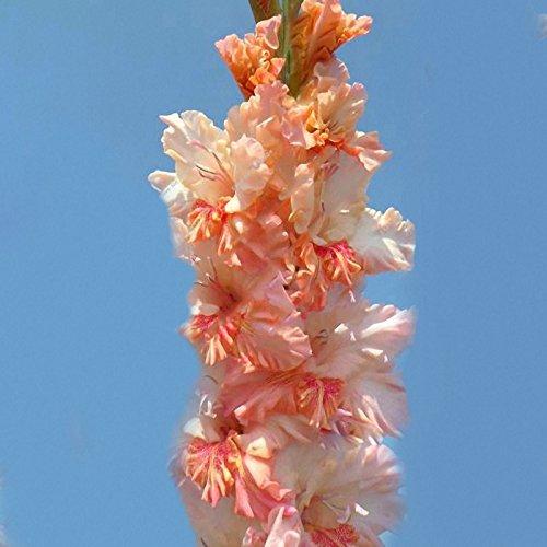 TENGGO Egrow 100Unids Flores de Gladilos Perennes de Aerobio en Maceta para Jardín - 1