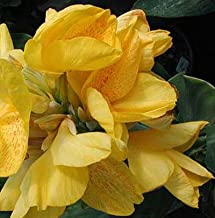 Yellow Futurity Flowering Dwarf Canna Lily Root/bulb/rhizome/plant Nice Size
