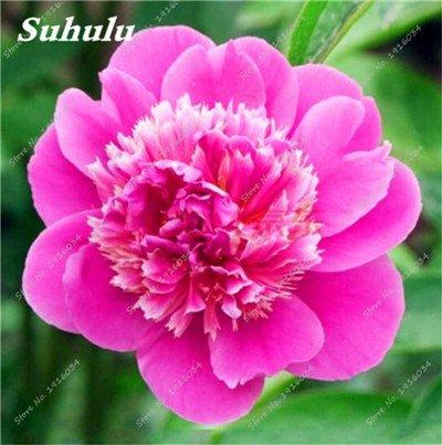 10 Pcs Pivoine graines, semences Potted extérieur, Bonsai Flower Seed, Variété complète, facile à cultiver, d'ornement-plantes pour jardin 7