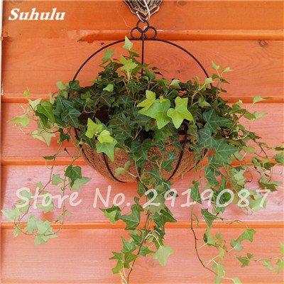 Pearl Chlorophytum Seeds 100 Pcs Hanging type de pot Chlorophytum fleurs Plantes d'intérieur air frais jardin résistant au froid 13