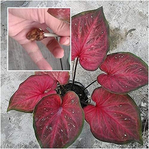 "PLAT FIRM GERMINATIONSAMEN: 1 Glühbirne Thai Caladium Pflanzen Königin der Blätter- ""NaiJan"" Rot-Blätter Zier"