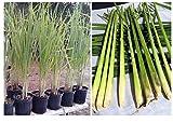 Lemongrass 12 Live Plants 7
