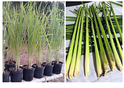 Lemongrass 12 7' Tall Fully Rooted