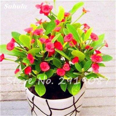 50 Pcs Campanula Graines rares Fleur Plante en pot Couleurs mélangées 95% Taux de bourgeonnement vivaces Plantes Bonsai Maison et Jardin 14
