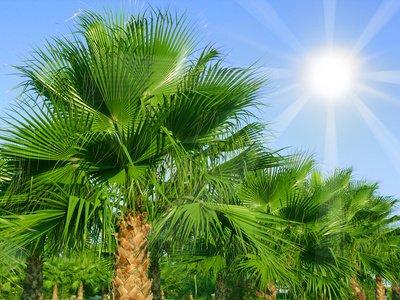 Chinesische Hanfpalme Trachycarpus fortunei 10 Samen