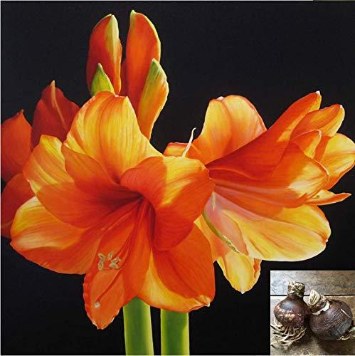 ExóTicas,Decoraciones De BalcóN,Plantas Raras,Flores Ornamentales,Bulbos de Amaryllis,Flores Cortadas,Plantas Bonsai-1 Bulbos