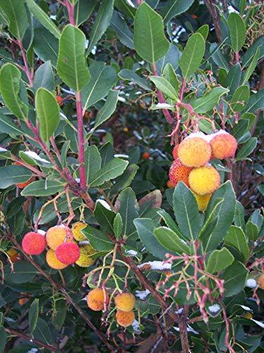 Westlicher Erdbeerbaum Arbutus unedo Pflanze 25-30cm Meerkirsche Hagapfel