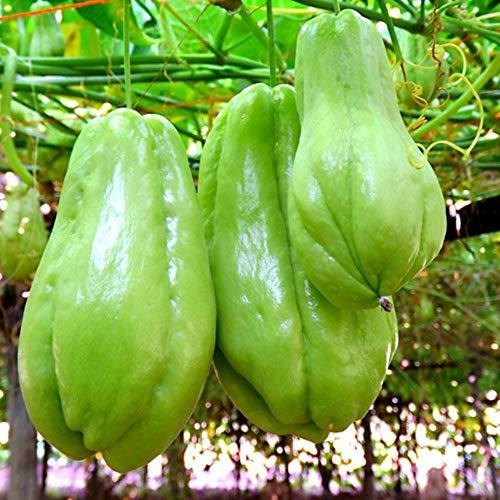 30 Stück Chayote-Samen wie eine menschliche Hand Obstgemüse Outdoor-Pflanzensamen