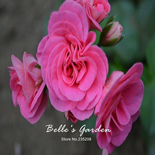 5pcs Couleurs multiples Variétés Géranium Graines Bonsai Pelargonium vivaces Graines de fleurs Hardy Patio Plante Plante en pot bricolage 07