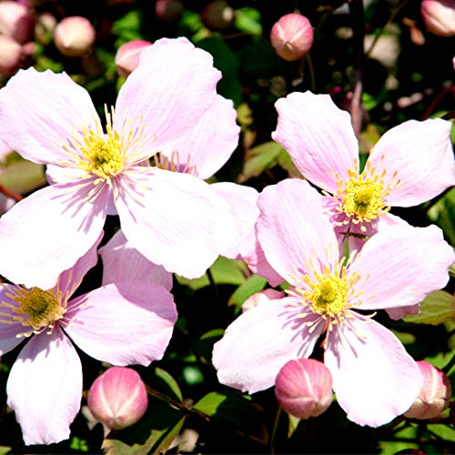 Clematis Montana 'Elizabeth' in 2L Pot, with Stunning Pale-Pink 3fatpigs®
