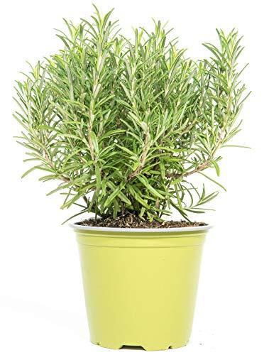 mgc24 Rosmarin, echte frische Kräuter Pflanzen im 14cm Topf, Rosmarinus officinalis, Höhe ca. 20cm