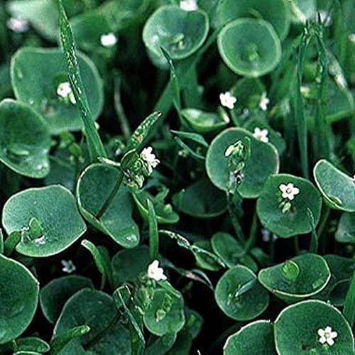 puran 100 Stück / Beutel Samen für Pflanzen, umweltfreundlich, schnelles Wachstum, frische Dichondra Micrantha Urban Samen für Zuhause