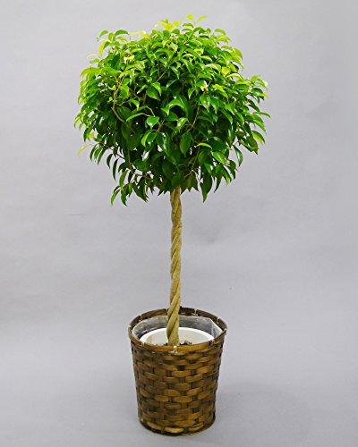 胡蝶蘭ビズ 観葉植物 ベンジャミン 8号 G-BE-08