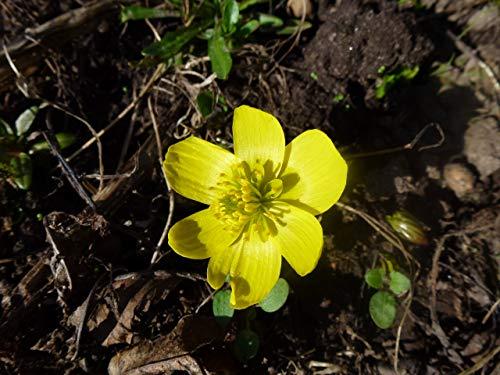 Blumenzwiebeln Eranthis hyemalis Winterlinge (50 Zwiebeln)