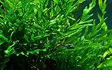 Tropica Aquarium Pflanze Bolbitis heudelotii Nr.006 Wasserpflanzen...