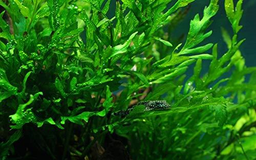 Tropica Aquarium Pflanze Bolbitis heudelotii Nr.006 Wasserpflanzen Aquarium Aquariumpflanzen