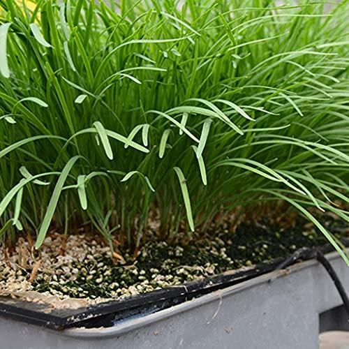 200 piezas de semillas de puerro chino cebollino semilla de reliquia perenne para plantación de patio de jardín fácil de plantar germinar crecimiento rápido