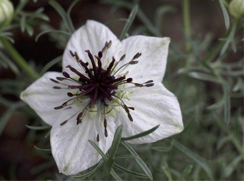 Seedeo Schwarzkümmel Nigella Sativa 100 Samen