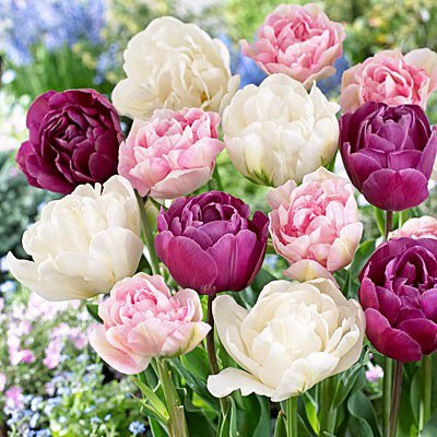 15 Double Late Mixture Tulip Bulbs - Tulipa Double Late Pre-chilled Read for Spring!!