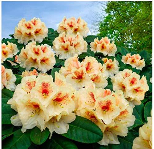 Tomasa Samenhaus- Garten-Azalee Glowing Selten Rhododendron Azalee Samen Blumensamen immergrüne exotische Blumen winterhart mehrjährig für Balkon, Garten