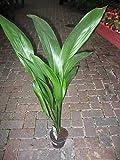 Planta de interior -Planta para la casa o la oficina - Aspidistra elatior - Planta de hierro fundido - Pequeña Aprox. 30 cm de alto