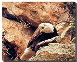 Bald Eagle Bird/Kunstdruck Animal Wild Poster (40 x 50)