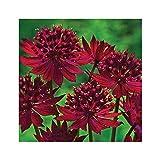 GARTHWAITE NURSERIES® : - Potted 1 Litre Astrantia Major Claret Great Black Masterwort Ruby-Red Summer Flowering Garden Perennial Plants
