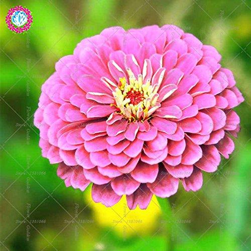 Véritable Zinnia elegans 50pcs Véritable fleur Bonsai Graines vivaces Facile Pour Cultivating balcon Cour Jardin plantiation Potted 1